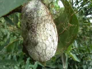 Cocoon for Silk